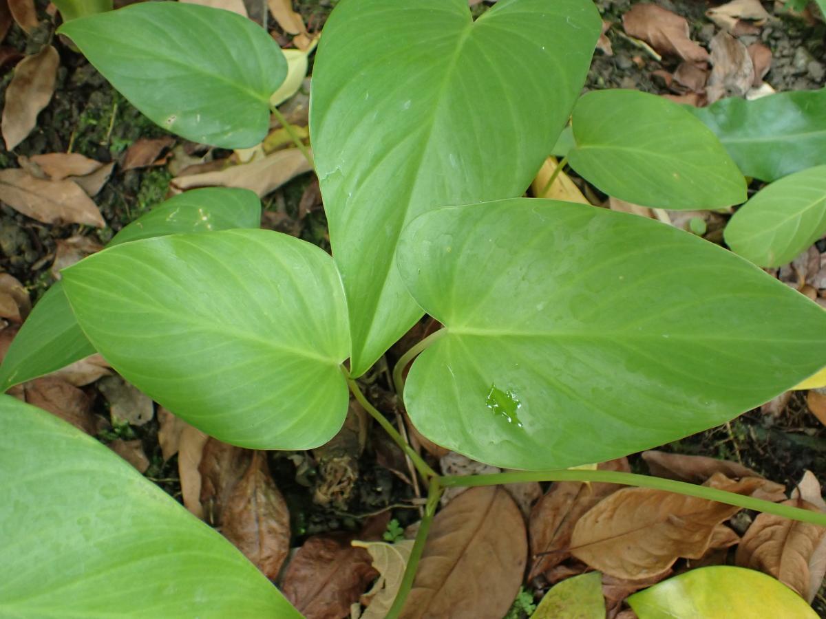 菲律賓扁葉芋