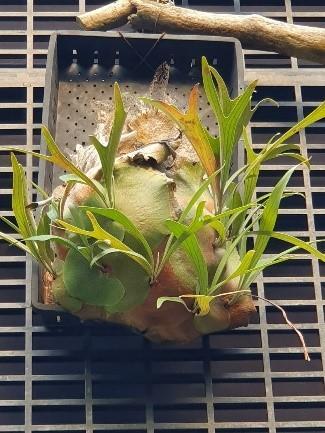 二叉鹿角蕨