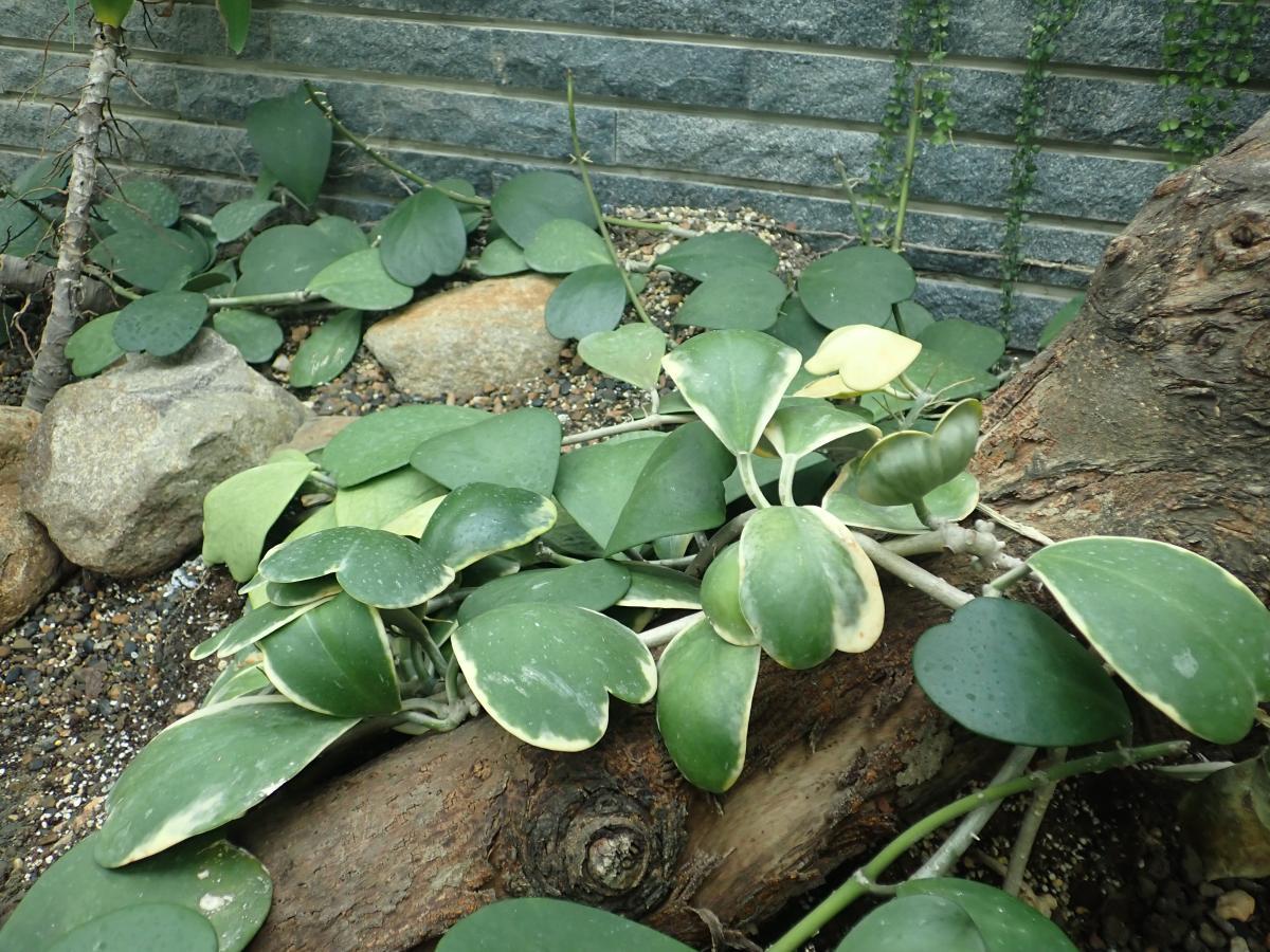 鑲邊心葉毬蘭